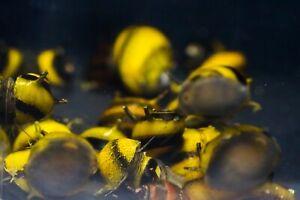8 x Yellow Horned Zebra Nerite snails, Fresh Water Snail