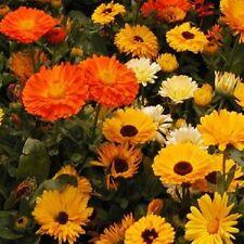 250 Calendula Seeds Mix ( Calendula Officinalis ) Pot Marigold Flower Seeds