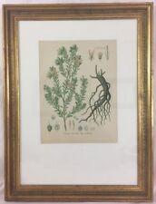 Rhatany Color 1880s Lithograph Professionally Framed Krameria triandra Medicinal