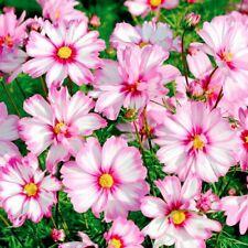 Seeds Cosmos Kosmeya Picote Flower Annual Outdoor Garden Cut Organic Ukraine