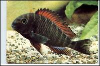 Regenbogen Brabant Bundbarsch Fisch Tiermotiv-AK DDR Planet Verlag Animal Fish
