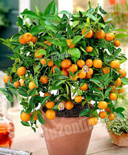 Minature Dwarf Orange Manderin Tree 30 Seeds