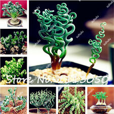 200x Seeds Rare Spiral Succulents Blue Grass Seed Courtyard Plant Home Garden