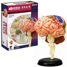 Modello cervello umano modellino struttura medicina anatomia umana anatomico
