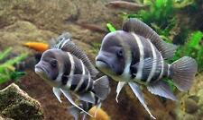 Live Tropical Aquarium Fish for Sale - Frontosa - Cyphotilapia frontosa