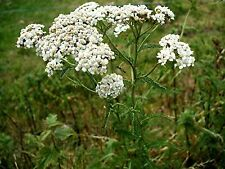 10000 x Yarrow Grow Your Own Rabbit Food Seeds Delicate White Flowers Seed