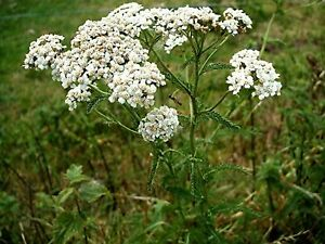 2500 x Yarrow Grow Your Own Rabbit Food Seeds Delicate White Flowers Seed