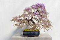 i! die WILDE WISTERIA !i Zimmerpflanze Wintergarten Terrasse als Miniaturbaum
