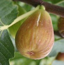 """FIGUIER Ficus """"Goutte D'Or"""", Plant de 25 à 35cm!"""