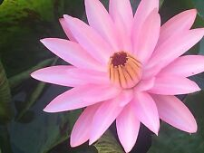 3 Tropical water lily, live whole plant. night bloomer, maroon beauty