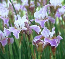 Iris sibirica Dance Ballerina Dance bareroot plant
