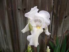 White Tall Bearded Iris Honeysuckle Iris Angel Kiss Yellow Throat 2 Bulbs