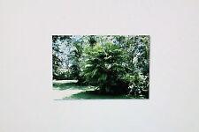 10 semi Chamaedorea microspadix, bambù, palma Palma #352