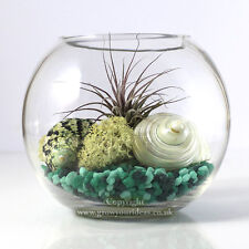 Air plant Kit glass Terrarium Green theme with pearl shells and Red Ionantha