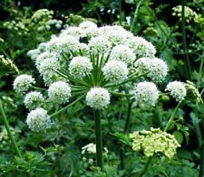 50 FEMALE GINSENG Dong Quai Chinese Angelica Sinensis Medical Herb Seeds