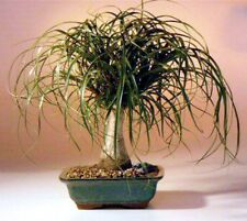 "Ponytail Palm Bonsai Tree Holiday Special Beginner Indoor Bonsai 10 yr 16 -18"" T"