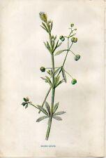 Stampa antica fiori ATTACCAMANI Galium aparine botanica 1878 Old Print flowers