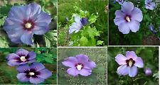 Blue Rose Of Sharon With Red Center Old Fashioned Flower 10 Seeds 4 U