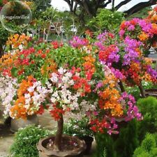 Bougainvillea Santa Rita Bonsai Tree Flowers Garden Bloom Decorative Live Seeds