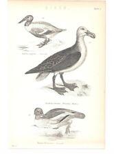 Antique Encyclopedia Print c1800s - Birds Plate5. Shoveller. Wandering Albatross