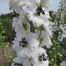Delphinium Galahad - 50 seeds