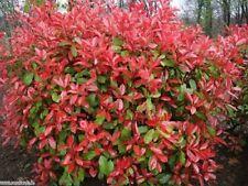 PHOTINIA niitakayamensis-RARO arbusto pianta in vaso 9cm
