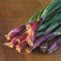 Kings Seeds - Onion Lilia (salad) - 500 Seeds