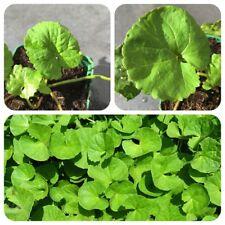 Gotukola Centella asiatica tiger hierba india memoria planta anti edad hierba
