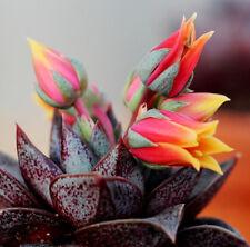 Echeveria purpusorum – lila Rosette