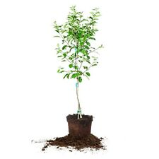 Red Delicious Apple Tree, Live Plant, Size: 3-4 ft.