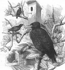 BIRDS. Raven. Starling. Common c1870 old antique vintage print picture