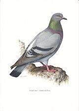 Planche 164 Histoire Naturelle Oiseaux : Pigeon Biset