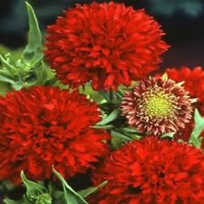Gaillardia-Pulchella- Sundance - Red- 25 seeds - Bogo 50% off Sale