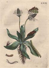 Maria Sibylla Merian-planta con insectos precioso grabado LXX 1730