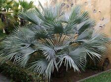 50 semillas-Brahea Armata-Azul Hesper Palm/mexicano Blue Palm