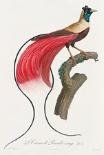 "Barraband and Levaillant: ""Red Bird of Paradise"" (1806) — Giclee Fine Art Print"