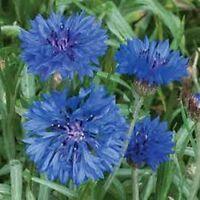 200 Seeds Baby Blue Eyes BOGO 50/% off SALE