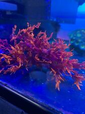 Live Dragon's Breath Tongue Fire Macro Algae Plant Refugium Coral Reef Saltwater