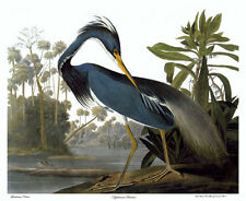Audubon Louisiana Heron 30x44 Hand Numbered Edition Fine Art Print