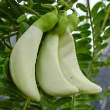 Sesbania-grandiflora-Hummingbird-Tree-Seeds-Tropical-Plant-Ornamental-WH