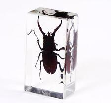 Black Stag Beetle Insect Paperweight Specimen Taxidermy Block NG
