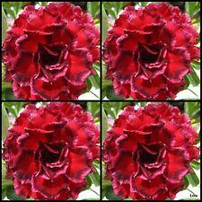 Adenium~Desert Rose < 7 HEAVEN > Suit Bonsai Indoor~10 SEEDS