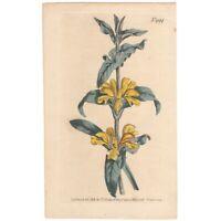 Curtis Botanical Magazine antique 1807 hand-colored engraving Pl 999 Phlomis