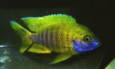 Male with color Lemon Jake Peacock 3.5 to 4.0 inch Aulonocara African cichlid