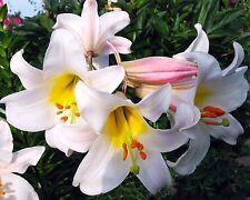 Wunderschön•Königs-Lilie•10 Samen/seed •Lilium regale•winterhart•Duft•Regal Lily