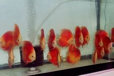 1(one) Royal Ruby Red discus fish 5""