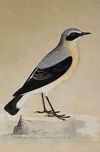 c1875 ANTIQUE PRINT ~ WHEATEAR ~ HAND COLOURED British Birds Morris
