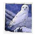 snowy owls nest 033