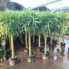 Buddha Belly Tree Green Ornamental Plant Seeds for Garden Decor UK STOCK
