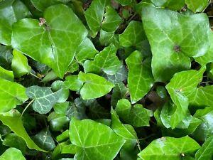 Efeu 25 Pflanzen Hedera Helix Kletterpflanzen aus Naturgarten